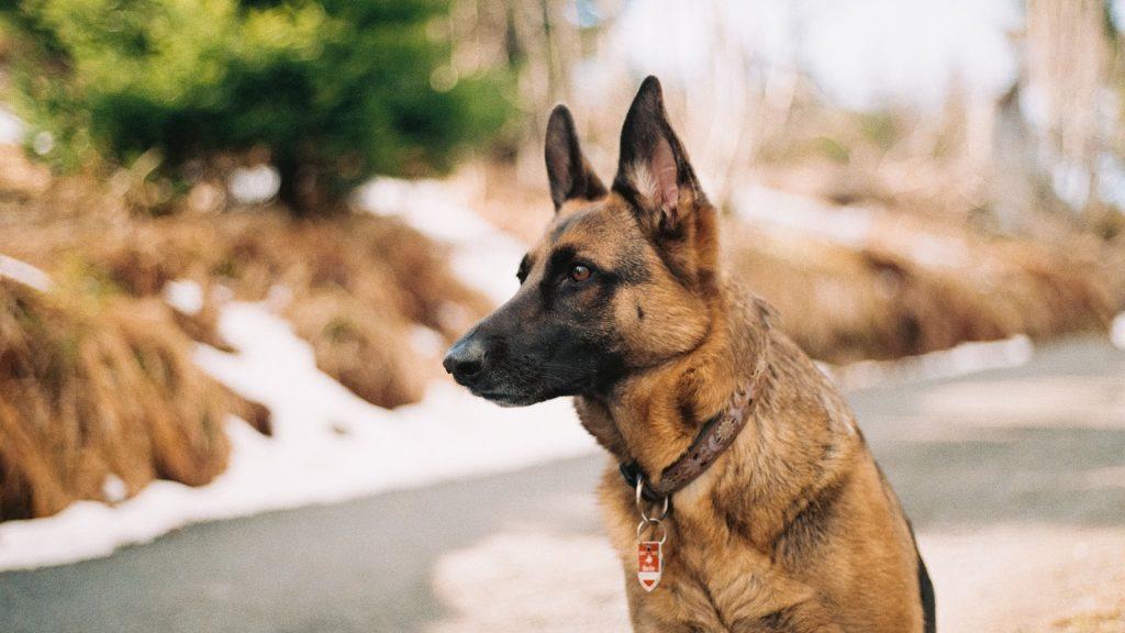 convocatoria-para-la-obtencion-del-titulo-de-adiestramiento-de-perros-de-guardia-y-defensa-1920