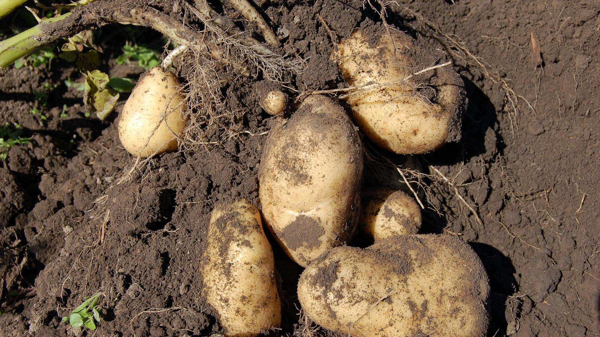 hasta-el-1-octubre-para-solicitar-indemnizaciones-por-la-polilla-de-la-patata-1920
